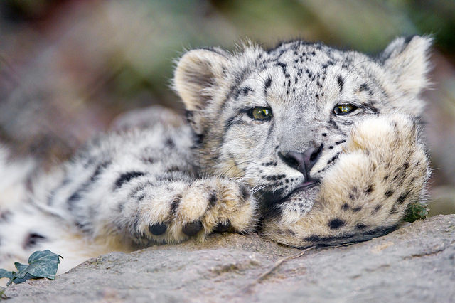 snow leopard in central asia