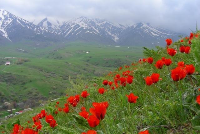 Tulips of Aksu-Zhabagly