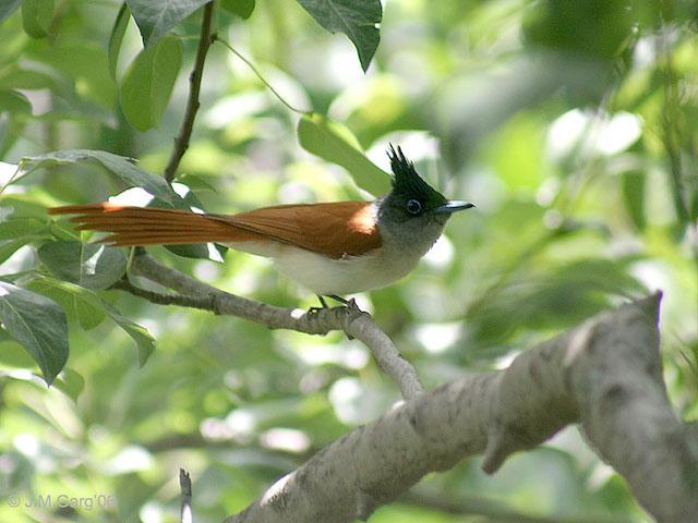 The Paradise Flycatcher. Photo Credit: Caravanistan