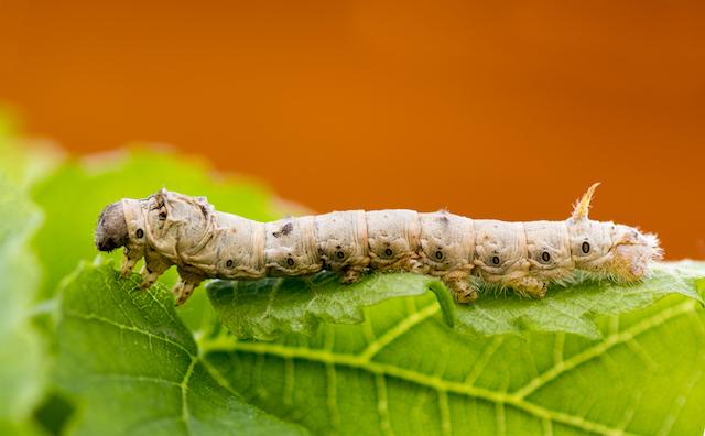Silkworm. Photo Credit: Deborah Lee Rossiter/Shutterstock.com
